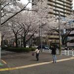相模原市民桜まつり2014 今年はちゃんと桜の見頃だろうか