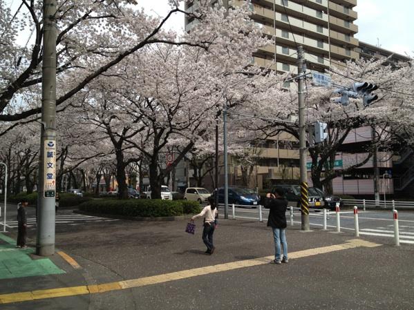相模原市役所さくら通りの桜